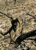 Whipsnake del desierto del Sonora Foto de archivo libre de regalías