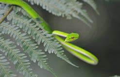 Whipsnake verde malayo Foto de archivo libre de regalías