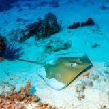 Whiptail黄貂鱼(Dasyatis pastinaca)在下潜,科莫多岛 免版税库存照片