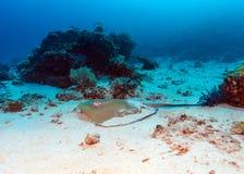 Whiptail黄貂鱼(Dasyatis pastinaca)在下潜,科莫多岛 库存照片