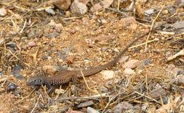 Whiptail. On desert scrub, Arizona Royalty Free Stock Photo