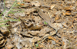 Whiptail Stock Photography