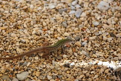 Whiptail Lizard. A close up view of a whip tail lizard sitting on gravel Royalty Free Stock Image