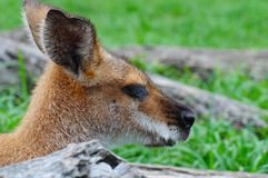 Whiptail (Pretty-faced) Wallaby Stock Images