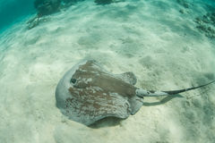Whiptail Stingray in Caribbean Sea. A Whiptail stingray (Himantura schmardae) swims over sand in shallow water off the coast of Belize in the Caribbean Sea Royalty Free Stock Images