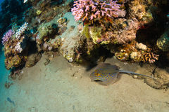 Whiptail stingray Royalty Free Stock Images