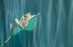 Whiptail stingray (Dasyatis americana) Royalty Free Stock Photos
