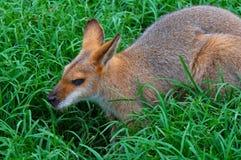 whiptail wallaby профиля Стоковое Изображение RF