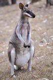 Whiptail Wallaby Stockbild