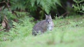 Whiptail wallaby φιλμ μικρού μήκους