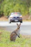 Whiptail-Wallaby (Macropus parryi) Stockfotos