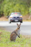 Whiptail wallaby (Macropus parryi) Stock Photos