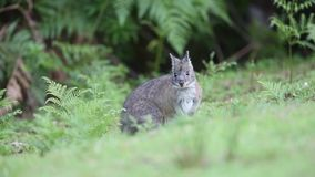 Whiptailwallaby stock footage