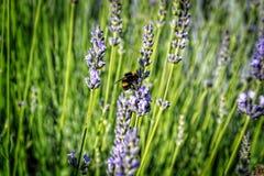 Whirligig on lavender flower Stock Photo