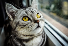 British shorthair silver tabby Whiskas cat Royalty Free Stock Photo