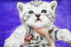 Whiskas Kitten cute striped. Muzzle of the baby. Royalty Free Stock Images