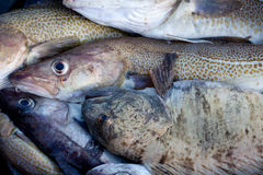 Whisker Catfish and cod. Barents sea stock photography