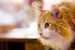 An orange cat gets ready to attack. A cat is ready to attack stock image