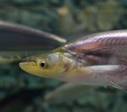 Whisker sheatfish. On aquarium fish royalty free stock images