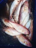 Whisker sheatfish Royalty Free Stock Image