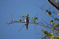 Whiskered красным цветом птица Bulbul на дереве Стоковая Фотография
