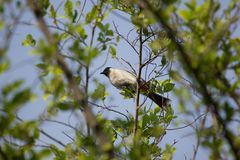 Whiskered красным цветом птица Bulbul на дереве Стоковое Фото