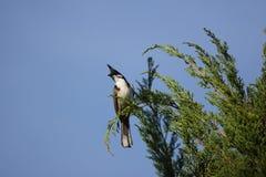 Whiskered красным цветом птица Bulbul на дереве Стоковое Изображение RF