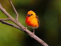 Whiskered красным цветом птица bulbul стоковые изображения rf