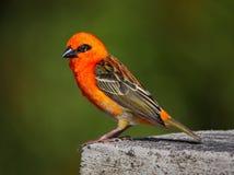 Whiskered красным цветом птица bulbul стоковое изображение