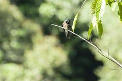 Whiskered мужское Treeswift прихорашиваясь на ветви Стоковая Фотография RF