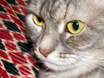 Whiskered muzzle cat shot home. Major largly Stock Images