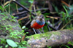 Whiskered Pitta Stock Photography
