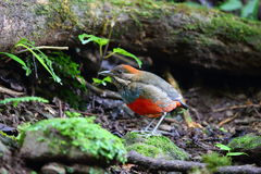 Whiskered Pitta Royalty Free Stock Photos