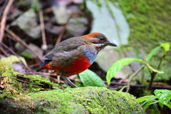 Whiskered Pitta Royalty Free Stock Images