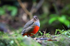 Whiskered Pitta Stock Images