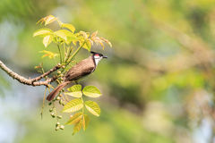 Whiskered rouge Bulbul Photos stock