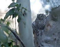 Whiskered Screech-owl in Arizona. An adult Whiskered Screech-owl sleeping in a sycamore tree in southeastern Arizona Stock Image