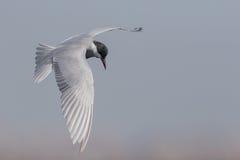 Whiskered Seeschwalbe Stockfotografie