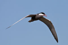 Whiskered Tern. In flight on blue background Royalty Free Stock Photography
