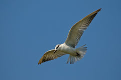 Whiskered Tern. In flight searching for food below Stock Photo