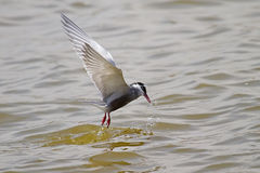 Whiskered Tern Stock Photos