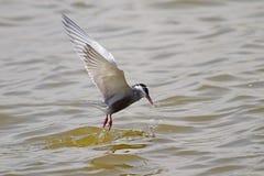 Whiskered Tern Stock Photos