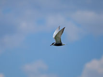 Whiskered Tern 2. Whiskered Tern against light clouds and blue sky over Lake Naivasha, Kenya Royalty Free Stock Images