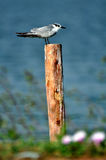 Whiskered Tern. Bird looking for food Royalty Free Stock Image