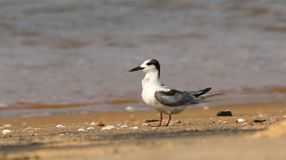 Whiskered tern bird. Whiskered tern one of the ten found in india and kerala state Royalty Free Stock Photos
