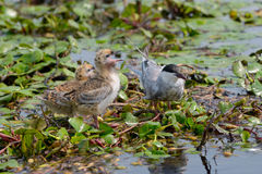 The Whiskered Tern. Birds with chicks Stock Photography