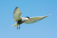 A whiskered tern Royalty Free Stock Photos