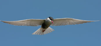 Whiskered tern ( Chlidonias hybrida ) Royalty Free Stock Image