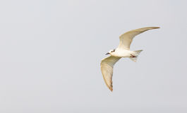 Whiskered Tern (Chlidonias hybrida) Bird Stock Images