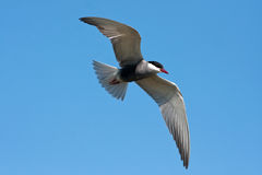 Whiskered tern ( Chlidonias hybrida ) in flight Stock Images